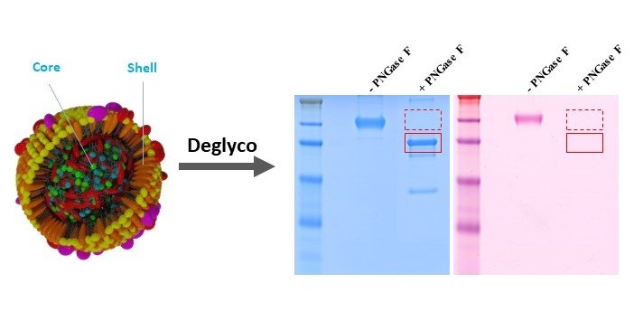 Protein deglycosylation can drastically affect the cellular uptake